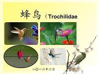 动物分类学PPT 蜂鸟