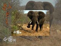 小学语文三年级课件 大象保姆